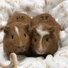 可愛い双子のモルモット