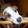 誰にでもフレンドリーなお人好し,優しい性格の若犬 サムネイル4