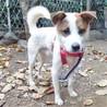 誰にでもフレンドリーなお人好し,優しい性格の若犬 サムネイル5
