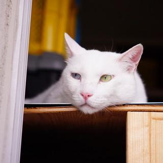 真っ白オッドアイの甘えた猫『ブラン』