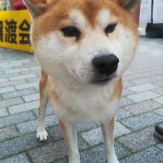 柴犬の太郎君
