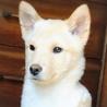 生後3か月仔犬 男の子 美しい子です