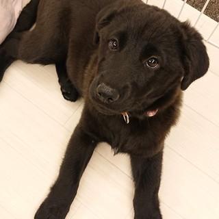 あんず☆しっぽフリフリ子犬♀2ヵ月半・大型犬予想
