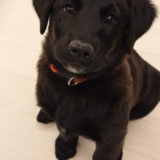 くるみ☆しっぽフリフリ子犬♀2ケ月半・大型犬予想