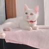かわいい白猫の飼い主募集中です!