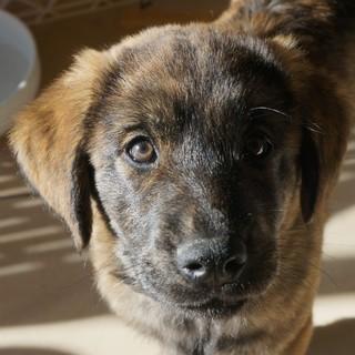 かりんと(生後2カ月半の子犬)女の子・大型犬予想