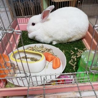 シロウサギの里親募集
