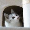 ふわふわのサバ白子猫。まるちゃん。