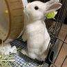 うさぎ (ネザーランド×ミニウサギ )