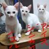4ヶ月☆三匹の白猫ちゃん