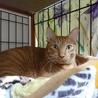 デッカい猫です、きいちゃんは里親さん決定!