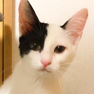 人馴れ★とっても美猫な白黒個性的柄★ピノコ