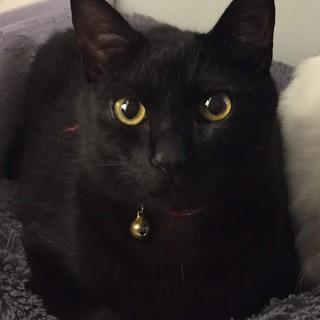 人が大好きな黒猫1才