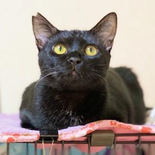 黒猫男子❤お腹もふもふ❤お留守番できます