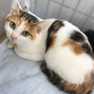三毛猫3ヶ月ロージーちゃん