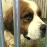 大型犬バーニーズ風の雑種3頭157