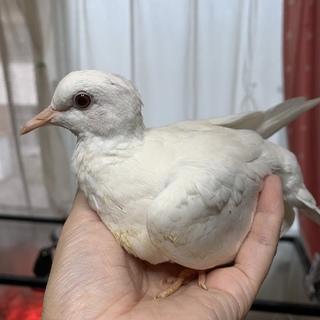 ギンバト 若鳥