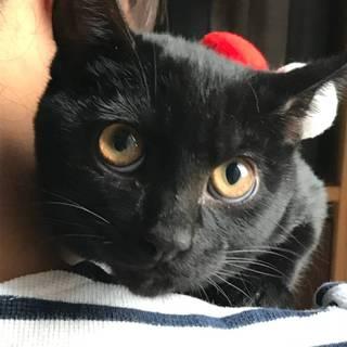 【12/15浅草橋】黒猫美男子♡こぐまくん