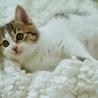 洋猫MIX?!超可愛いほわほわ子猫♪アニーちゃん