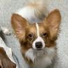 なごむ★人も犬も大好きパワフルパピヨン♂ サムネイル5