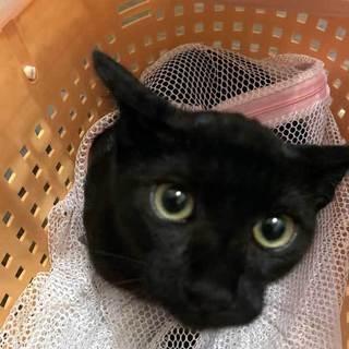 繁殖現場から子猫 33匹 -- 黒猫-ハカ