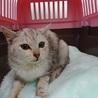 パステルシルバー三毛の子猫