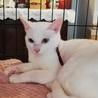 真っ白猫 ゆきちゃん 1才 甘えん坊