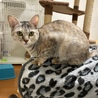 パステルさび三毛毛7ヶ月♀美子猫ふうりん