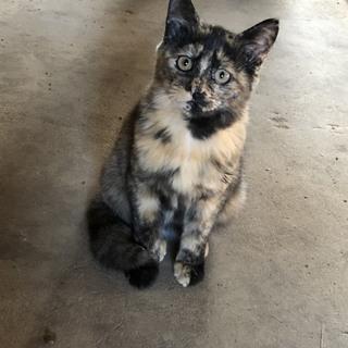とてもユニークな柄のサビ猫の女の子(推定3か月)