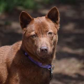 琉球犬ミックス、とても綺麗な子です。