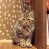 【子猫長毛キジトラ♀】人懐っこさ◎