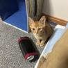 子猫(茶トラ)の募集