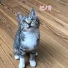 お目目クリクリの美猫♫人馴れ勉強中のピノ♀
