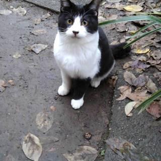 黒白ハチワレの子猫推定4ヶ月 男の子