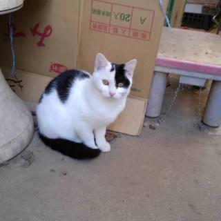 白黒の子猫の女の子 推定4ヶ月