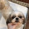 美犬シーズー5歳