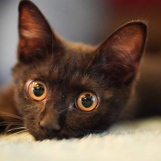 艶やかな黒猫、タオちゃん