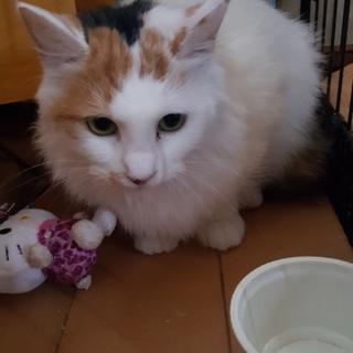 ふわふわの長毛の三毛猫