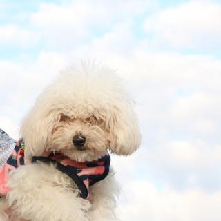 マルプー MIX犬 オス 約8ケ月