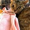 手足も長く美しい猫 ビューティ