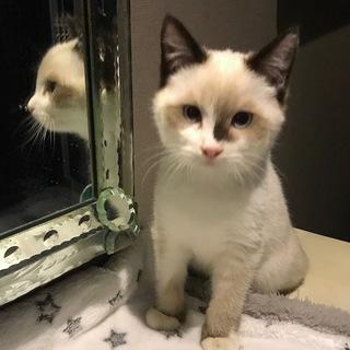 おうちが決まりました/シャム系子猫