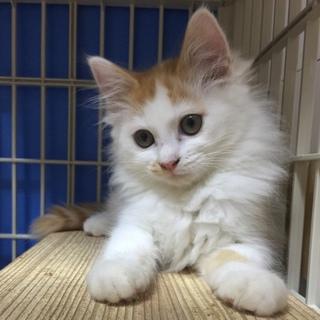 茶白♀子猫 ひだちゃん