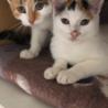 【急募】三毛猫の可愛い姉妹