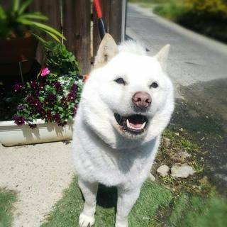 北海道犬〜手招きします〜