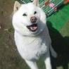 北海道犬〜手招きします〜 サムネイル4