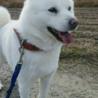 北海道犬〜手招きします〜 サムネイル7