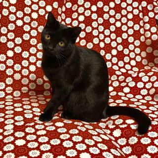 美しい黒猫、沙耶ちゃん。