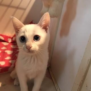 [エイズキャリア]白猫の女の子♪