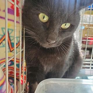 真っ黒猫ちゃん。スフィンクス君!鼻筋が長め♂