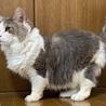 決定☆『モッサ』大柄猫の控えめな甘えん坊